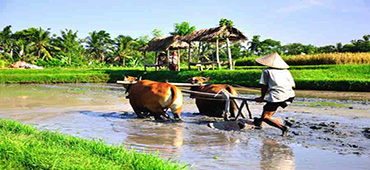 bali farming tour - rice farming tour