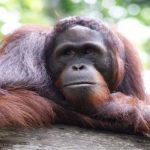 orangutan tour borneo indonesia