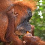 orangutans explore