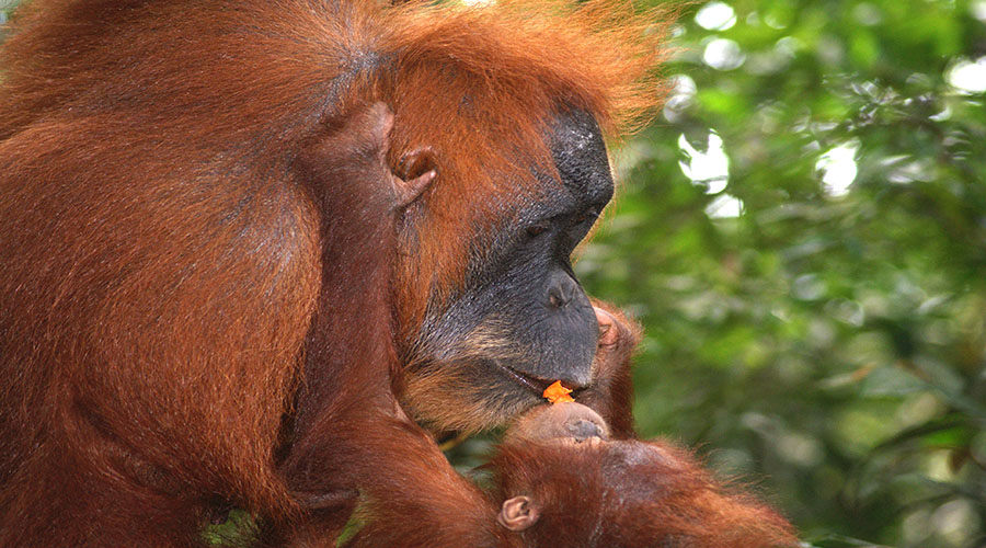 orangutan north sumatra