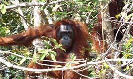 orangutans encounter