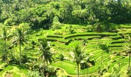 ubud tegalalang rice terraces